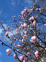 In voller Pracht: Magnolie